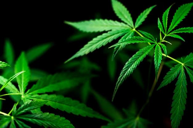 Cannabis sobre un fondo negro