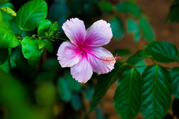 Capullo de flor de hibisco en plena floración en el jardín en un día soleado