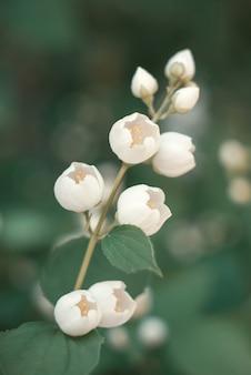 Capullos de flores de jazmín blanco en una rama