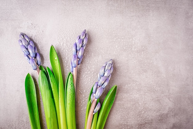 Capullos de jacintos púrpura azul con gotas de rocío sobre un mosaico gris