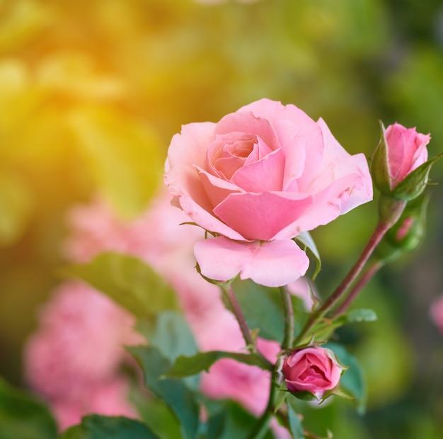 Capullos de rosas rosas en flor en el jardín