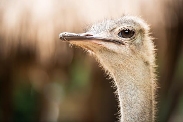 Cara de avestruz