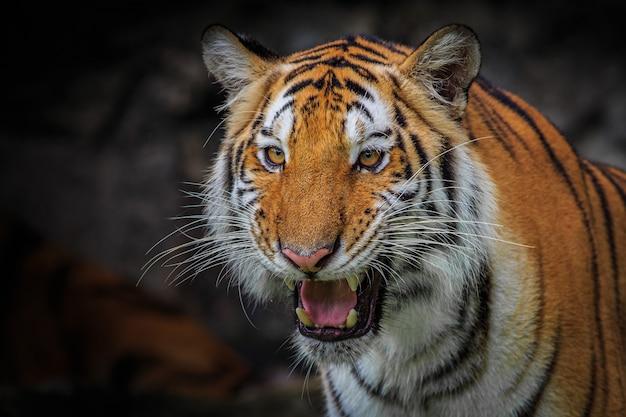 Cara feroz de un tigre indochino