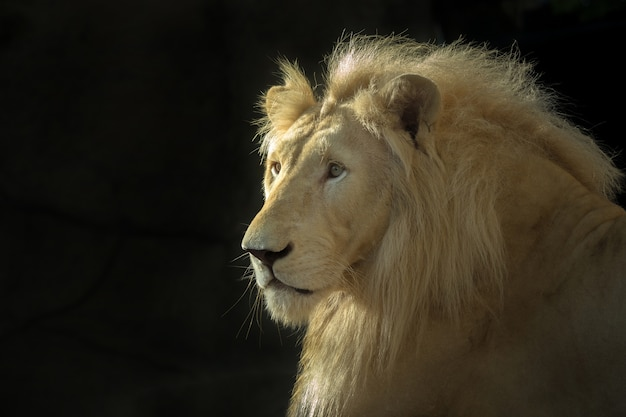 La cara del macho león blanco sobre un fondo negro.