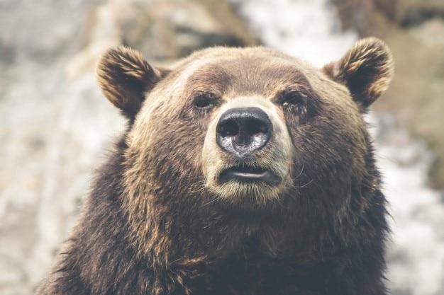 La cara del oso pardo