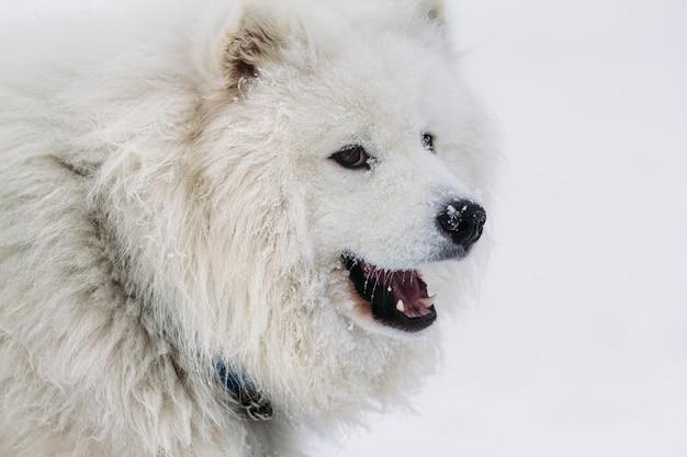 Cara de un perro samoyedo closeup