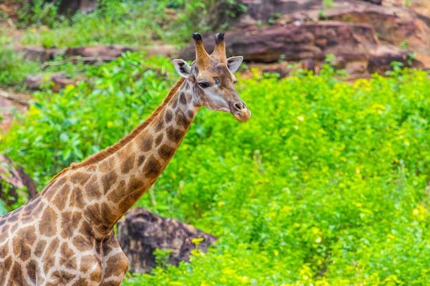 Cara picos de jirafa masai alrededor de arbusto