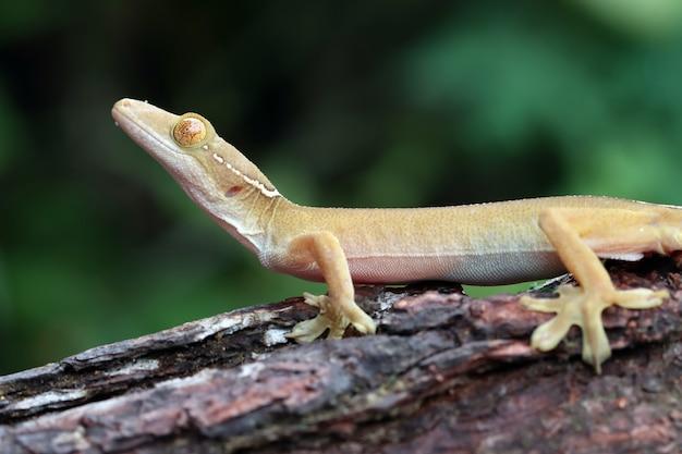Cara de primer plano de gecko de línea blanca en madera