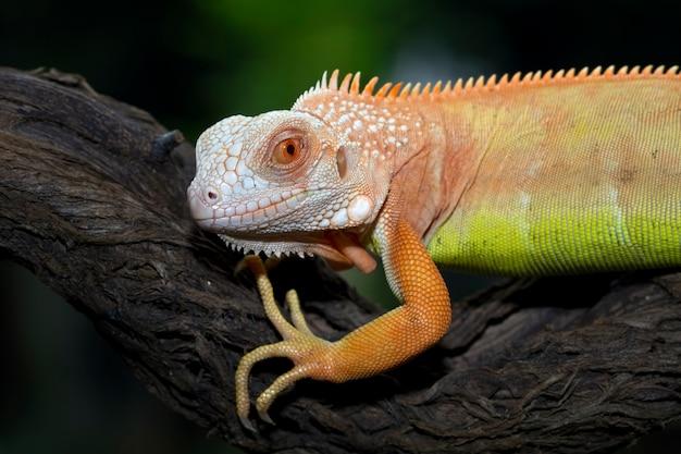 Cara de primer plano de iguana naranja en rama