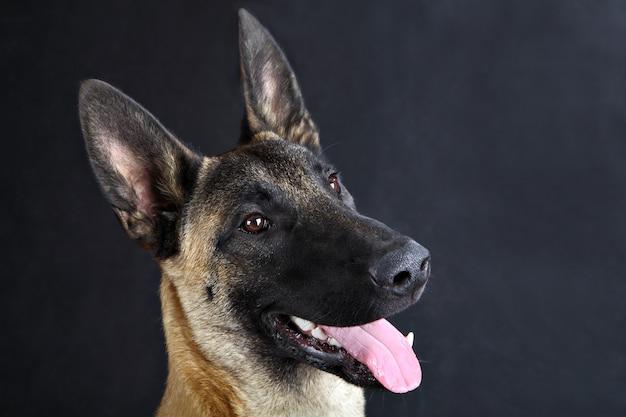 Cara de primer plano de perro doméstico, retrato de estudio de perro pastor belga malinois.