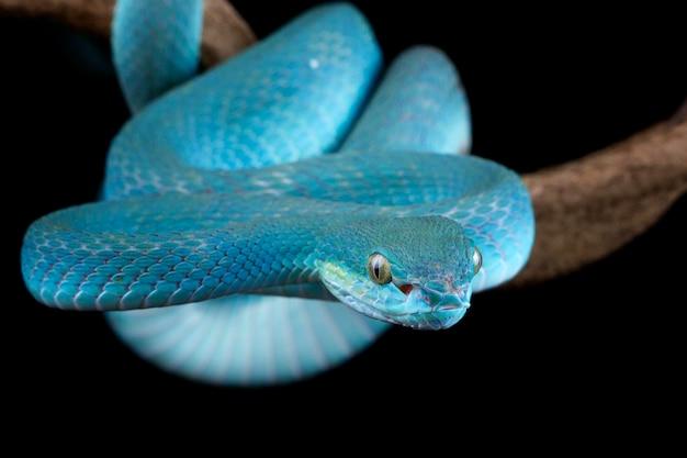 Cara de primer plano de serpiente víbora azul