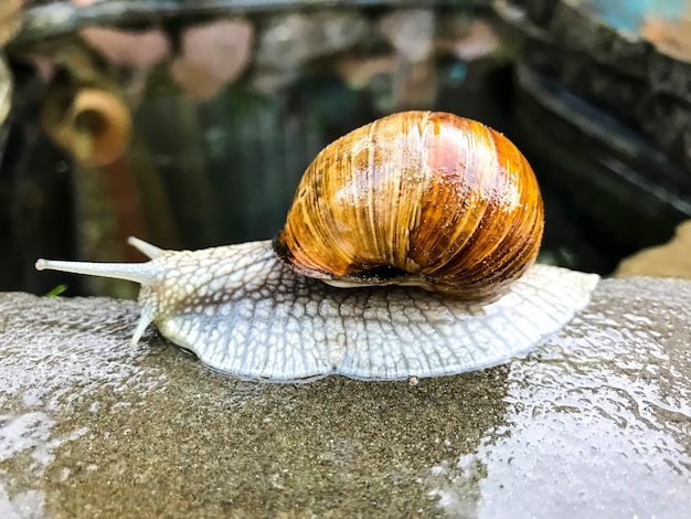 Caracol arrastrándose sobre la piedra del mar.