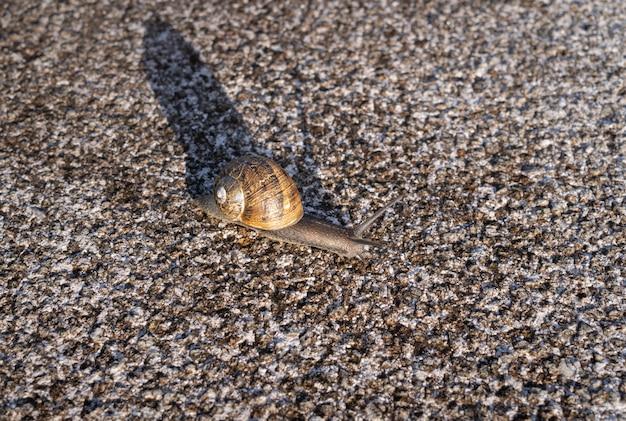 Caracol común en concha arrastrándose sobre la superficie de piedra de granito