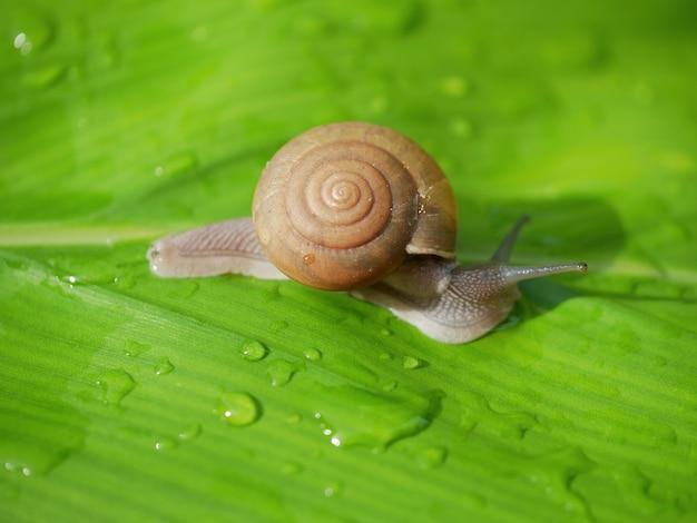 El caracol está en las hojas verdes con gotas de agua lluvia