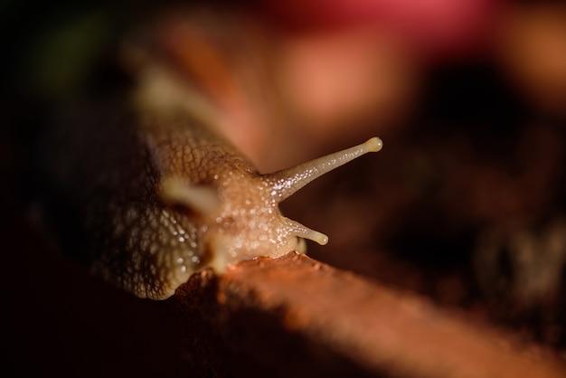Caracol muller deslizándose sobre las hojas mojadas. grandes caracoles moluscos blancos con concha de rayas marrones, arrastrándose sobre verduras lente macro