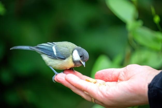 Carbonero comiendo de la mano