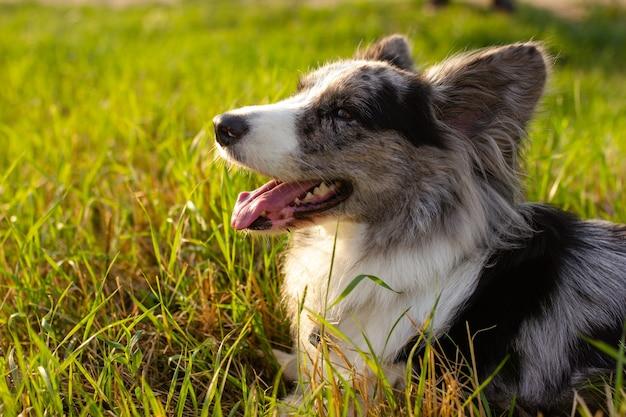 Cárdigan welsh corgi sobre hierba verde al aire libre