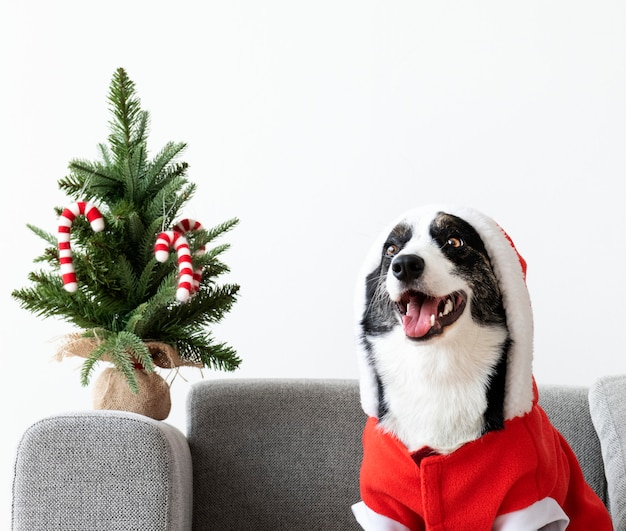 Cardigan welsh corgi con un traje de navidad
