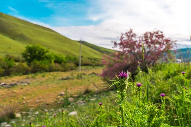Cardo floreciente en las tierras altas