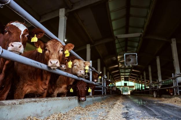 Carne de vacuno de pie en manada en el granero. están comiendo y mirando a la cámara. día ordinario en la granja orgánica.