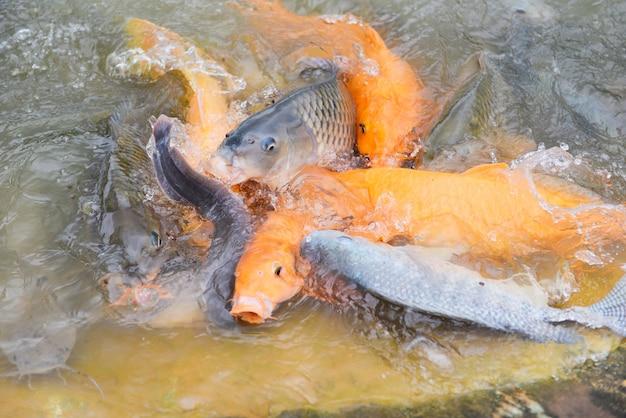 Carpa dorada tilapia o carpa naranja y bagre comiendo de la alimentación de los estanques en la superficie del agua