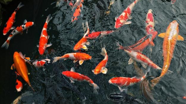 Carpa roja 'koi' peces en estanque japonés