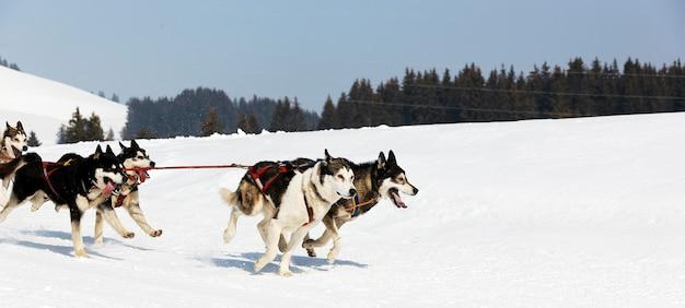 Carrera de husky en montaña alpina en invierno