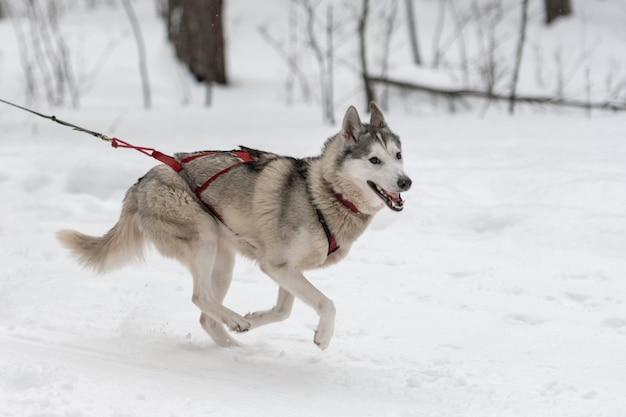 Carrera de perros de trineo. el equipo de perros de trineo husky en arnés corre y tira del conductor del perro. campeonato de deportes de invierno.