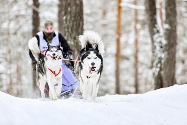 Carrera de perros de trineo husky