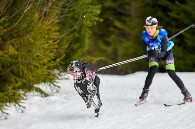 Carreras de perros skijoring