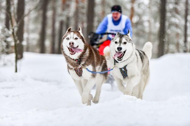 Carreras de perros de trineo de husky siberiano
