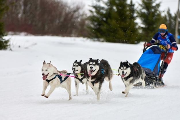 Carreras de perros de trineo husky