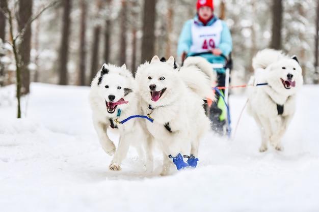 Carreras de perros de trineo samoyedo