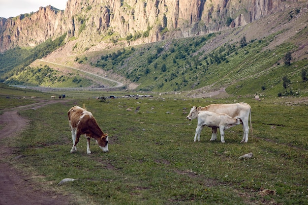 Carretera de verano en las montañas con vacas caminando en el cáucaso