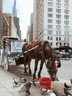 Carruajes de caballos esperando clientes en el central park de nueva york. caballo comiendo alimento mientras espera nuevos clientes.