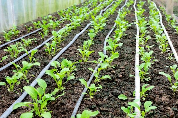 Casa verde de vegetales jóvenes en el suelo.