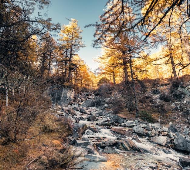 Cascada que fluye en las rocas en el bosque de pino otoño