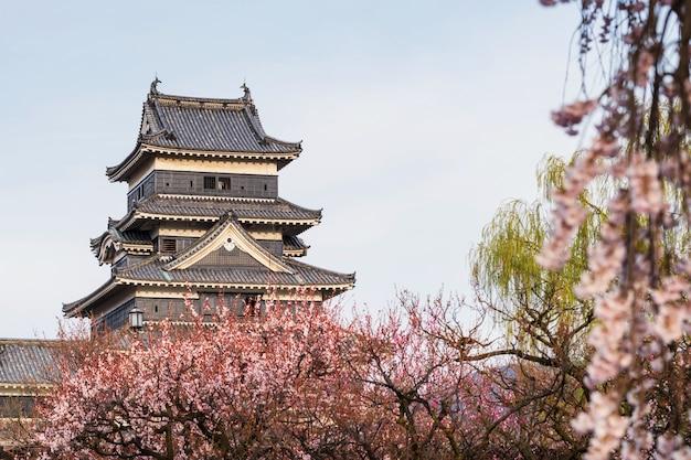 Castillo de matsumoto con flor de cerezo rosa
