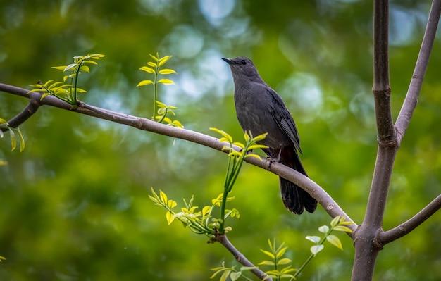 Catbird gris (dumetella carolinensis),