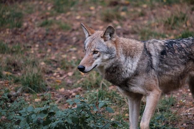 Caza de lobos en el bosque