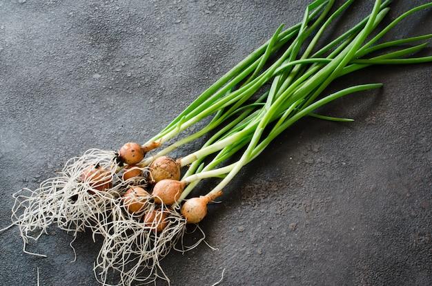 Cebollas verdes orgánicas frescas recién recogidas de la cama del jardín