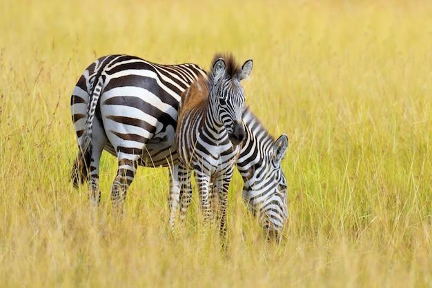 Cebra en pastizales en áfrica, parque nacional de kenia