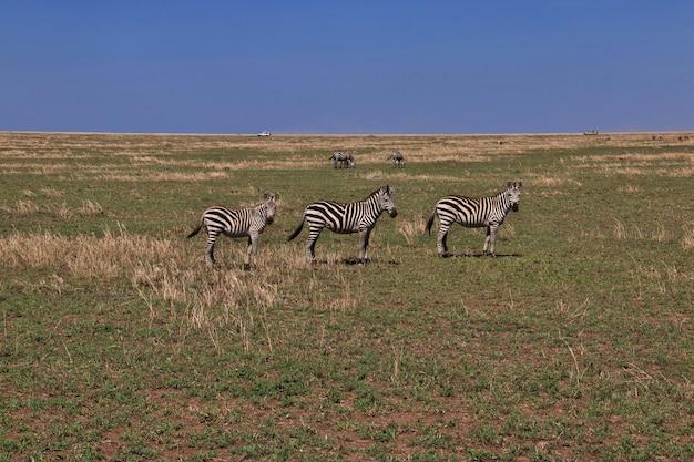 Cebra en safari en kenia y tanzania, áfrica