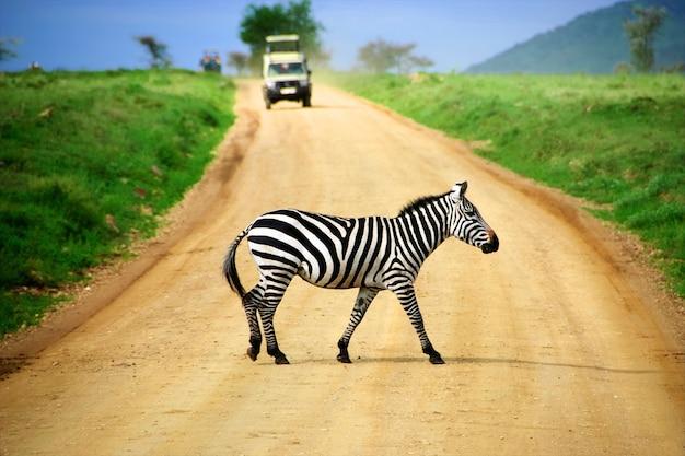 Cebra salvaje cruzando una carretera