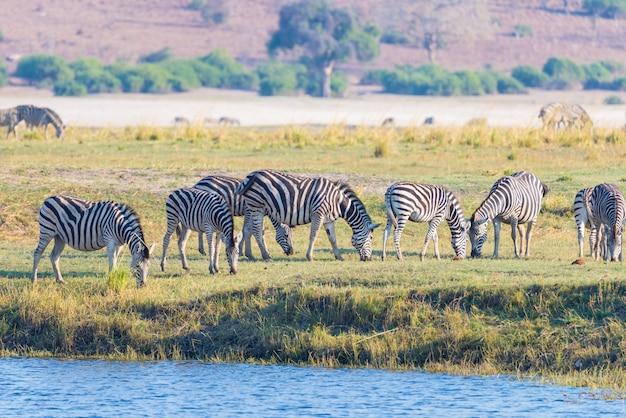 Cebras caminando en la orilla del río chobe en contraluz al atardecer.