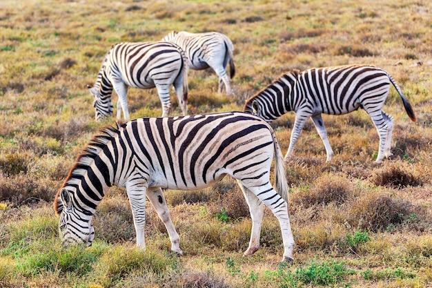Cebras comiendo hierba en el parque nacional addo, sudáfrica