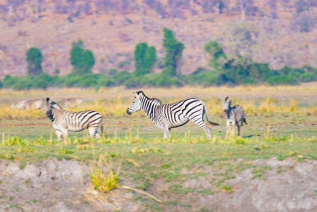 Cebras en el parque nacional de chobe, botswana. wildlife safari en los parques nacionales africanos y reservas de vida silvestre.