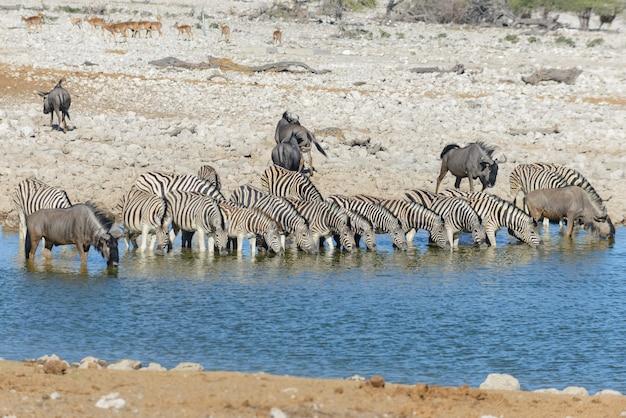 Cebras salvajes bebiendo agua en abrevadero en la sabana africana
