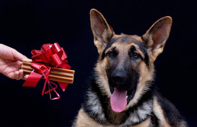 Celebración navideña en casa. hueso con lazo rojo como regalo para perro. perro pastor alemán