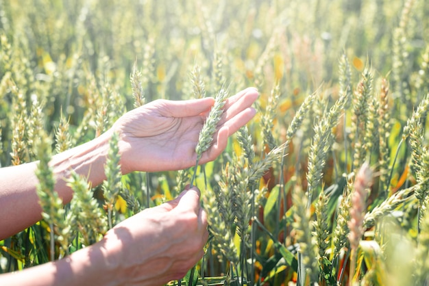El centeno verde está madurando, la mano del agricultor al atardecer